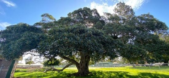 Historic Gregson Park fig preserved for the future